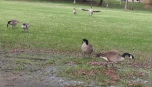 Just some geese
