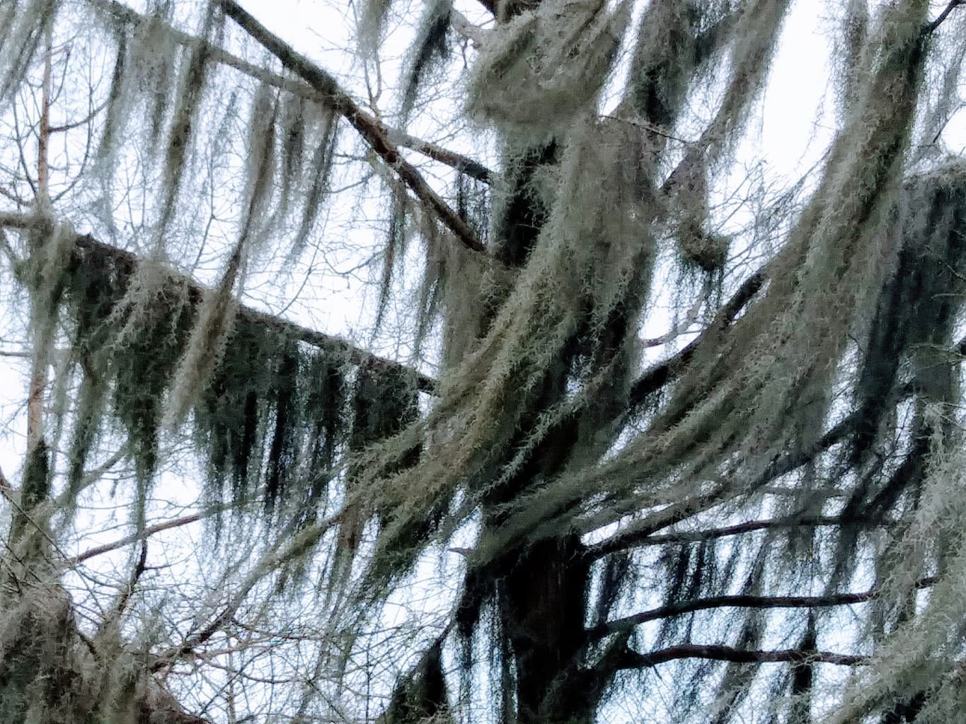 Tree with Spanish moss that resembles a ghost ship