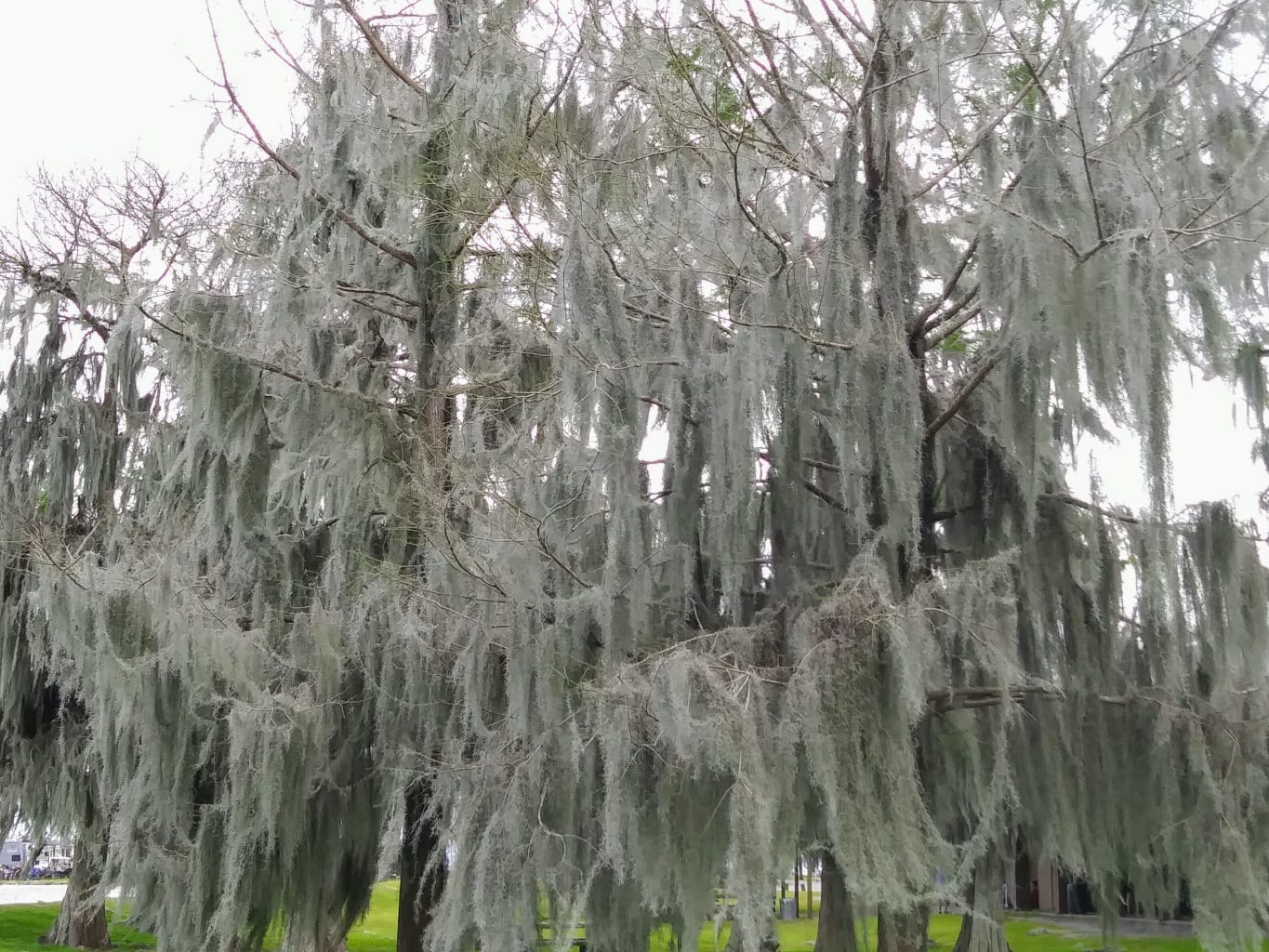 Trees heavy with Spanish moss