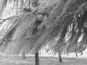 Lake End Park, Morgan City, spanish moss